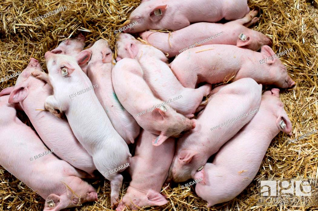 Stock Photo: Top view of cute piglets sleeping on straw after suckling.