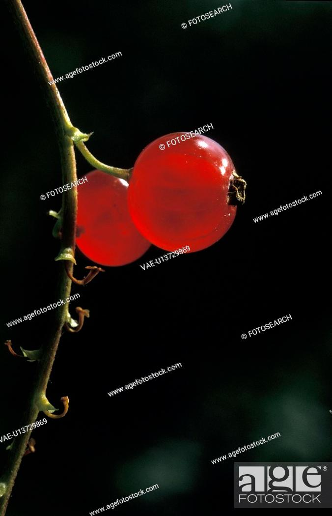 Stock Photo: fruit, back light, dobecki, currant, Cologne, andreas.