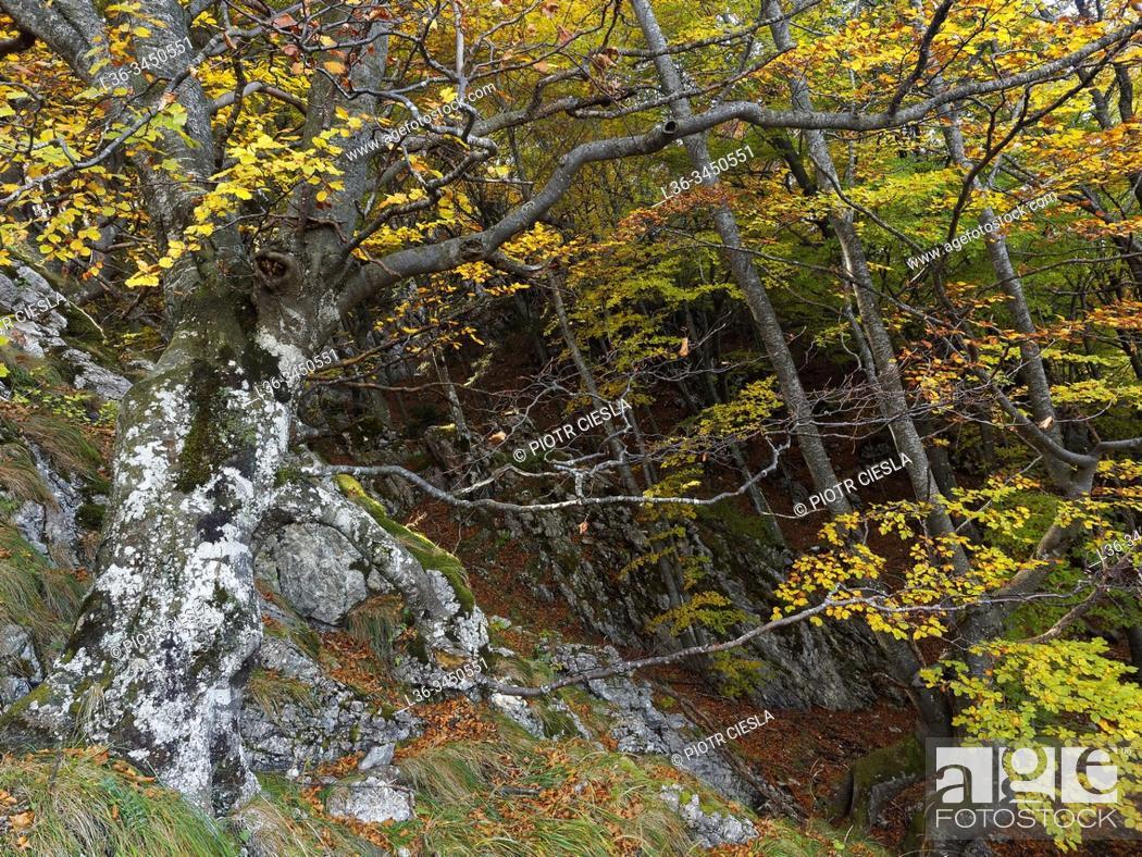 Stock Photo: Romania. Piatra Craiului Massif. Beech forest.