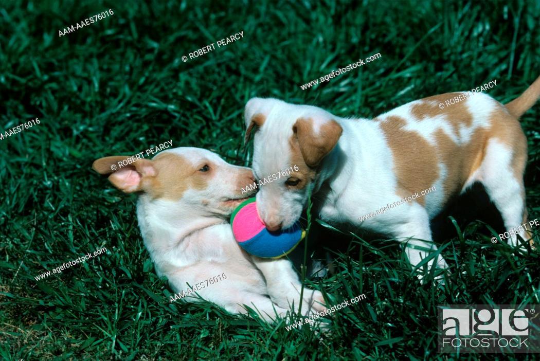 Stock Photo: Ibizan Hound pups playing.