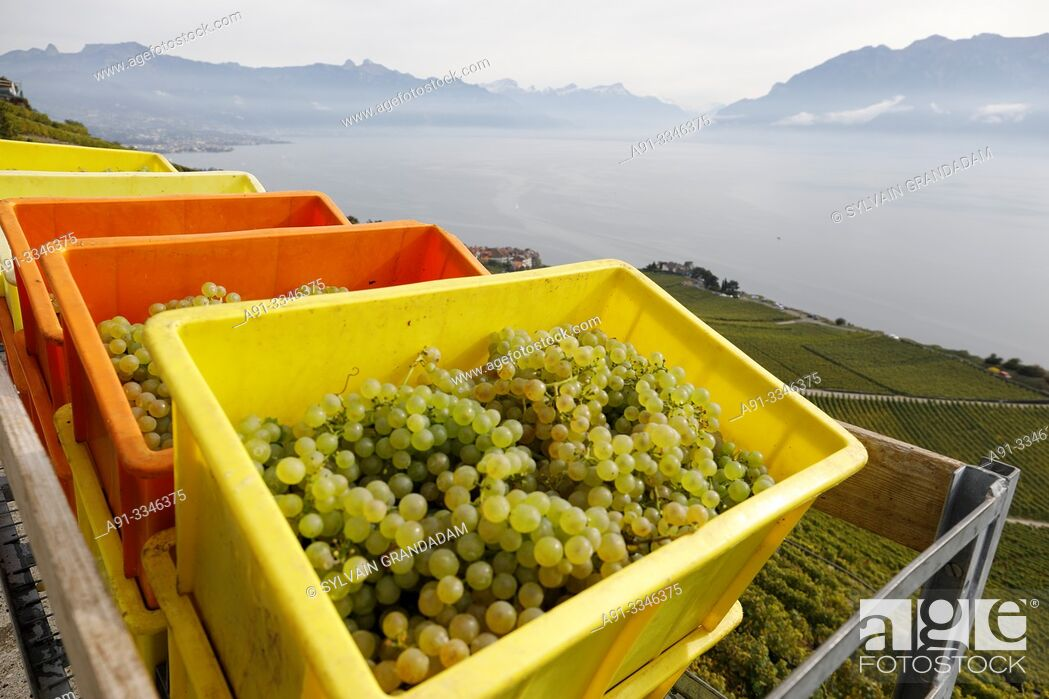 Stock Photo: Switzerland, Vaud Canton, Lavaux, Rivaz village, sloppy vineyards by lake Leman, Chaudet vineyards run by family Briaux, manager Titouan 22 years.