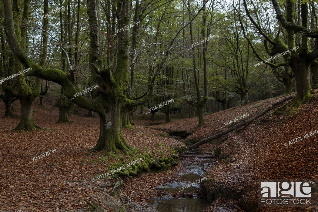 Stock Photo: Beech forest called Otzarreta, Gorbeia natural park, Basque Country.