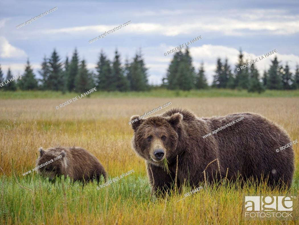 Stock Photo: Coastal brown bear, also known as Grizzly Bear (Ursus Arctos) female and cub. South Central Alaska. United States of America (USA).