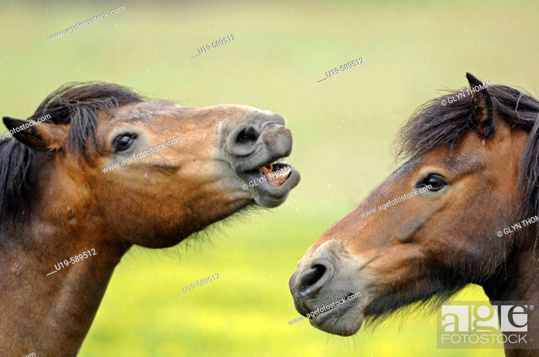 Stock Photo: Friendly behaviour between stallions in a field.