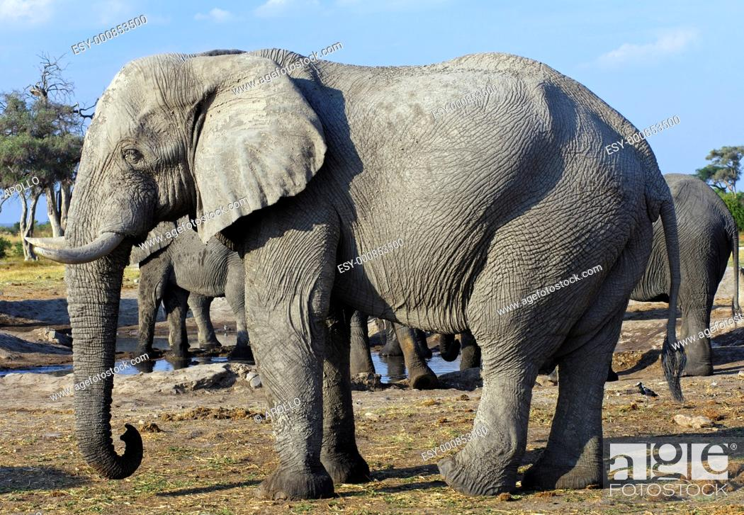 Stock Photo: African Elephant Loxodonta africana with a dried layer of mud on the skin as insect repellent, Savuti National Park, Botswana.