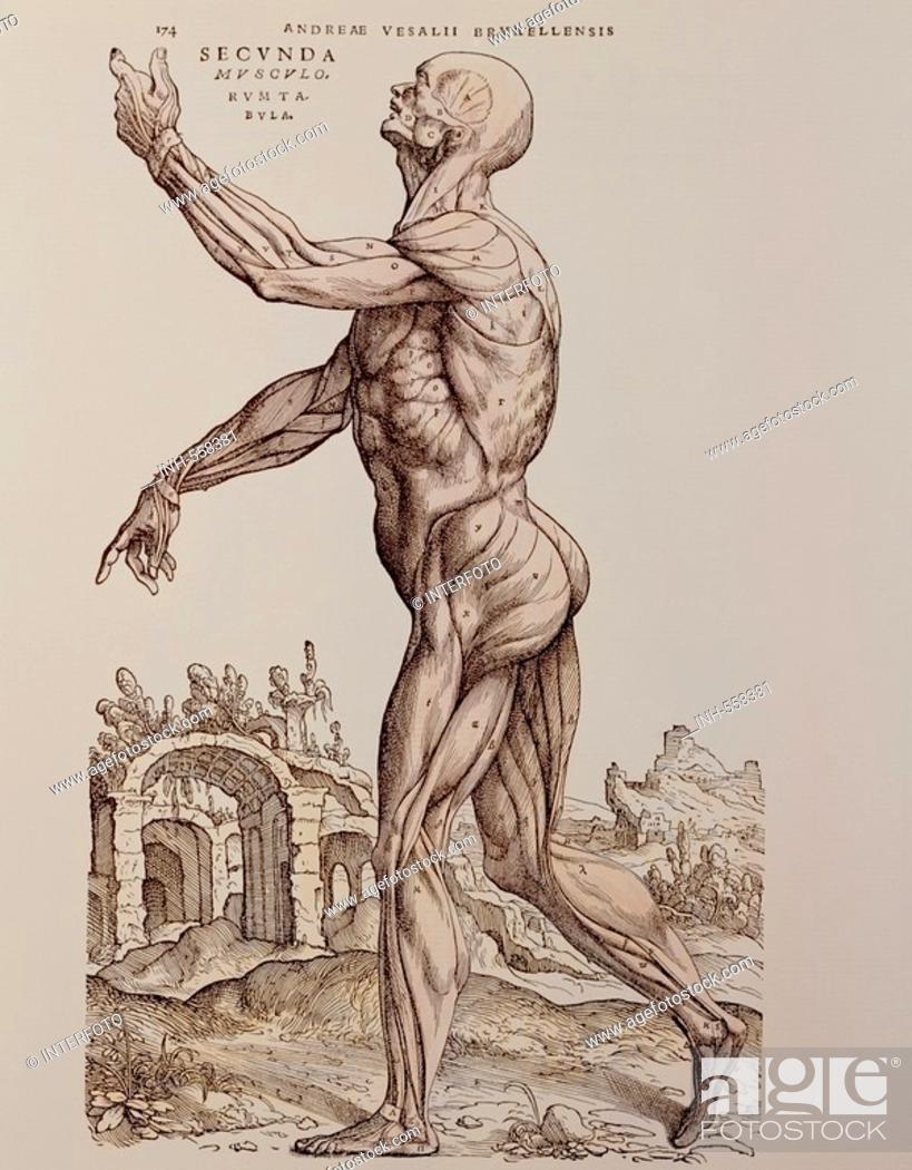 medicine, anatomy, muscles, woodcut, De humani corporis fabrica by ...