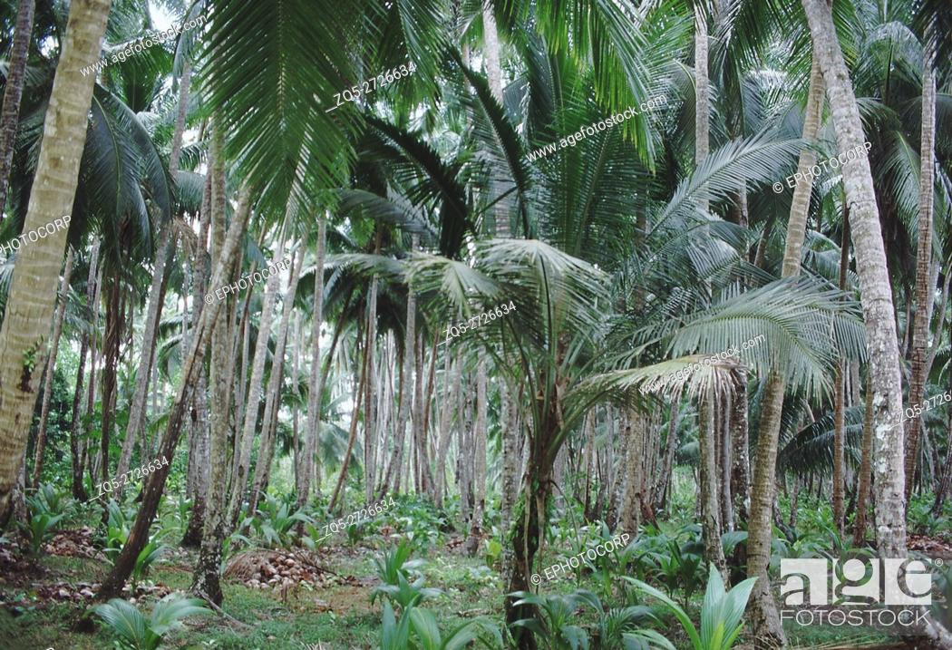 Stock Photo: In traditional coconut plantations, coconuts are allowed to germinate and grow on their own. This kind of plantation has coconut trees of all ages.