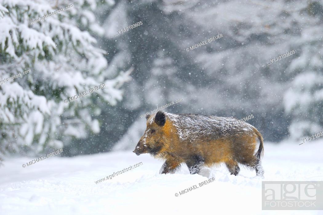 Stock Photo: Wild Boar, Sus scrofa, Bavaria, Germany, Europe.