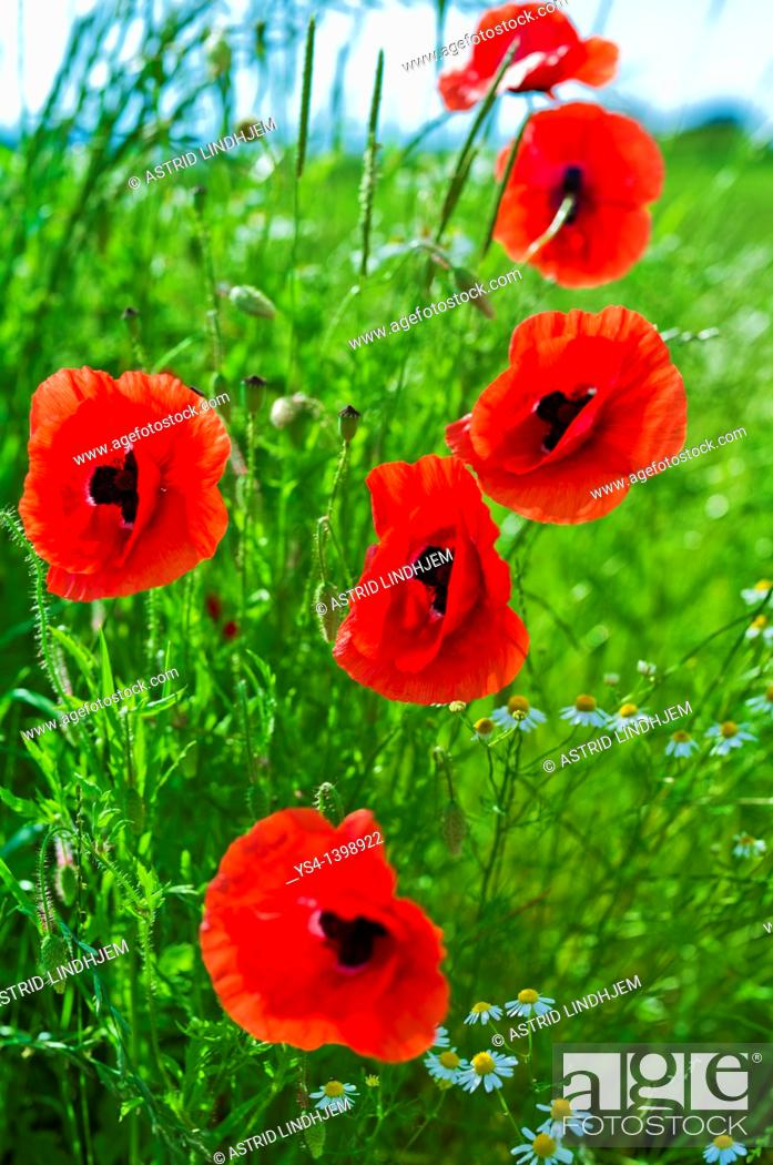 Stock Photo: Red poppy flower.