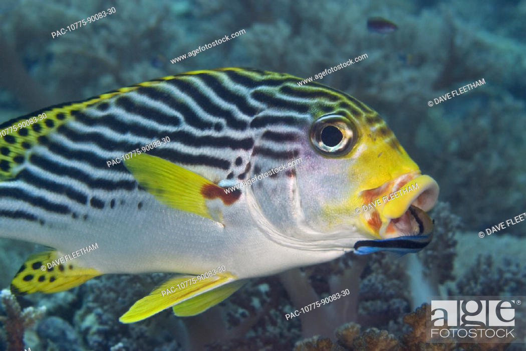 Stock Photo: Malaysia, Mabul Island, Lined sweetlips (plectorhinchus lineatus) with cleaner wrasse (labroides dimidiatus) in mouth.