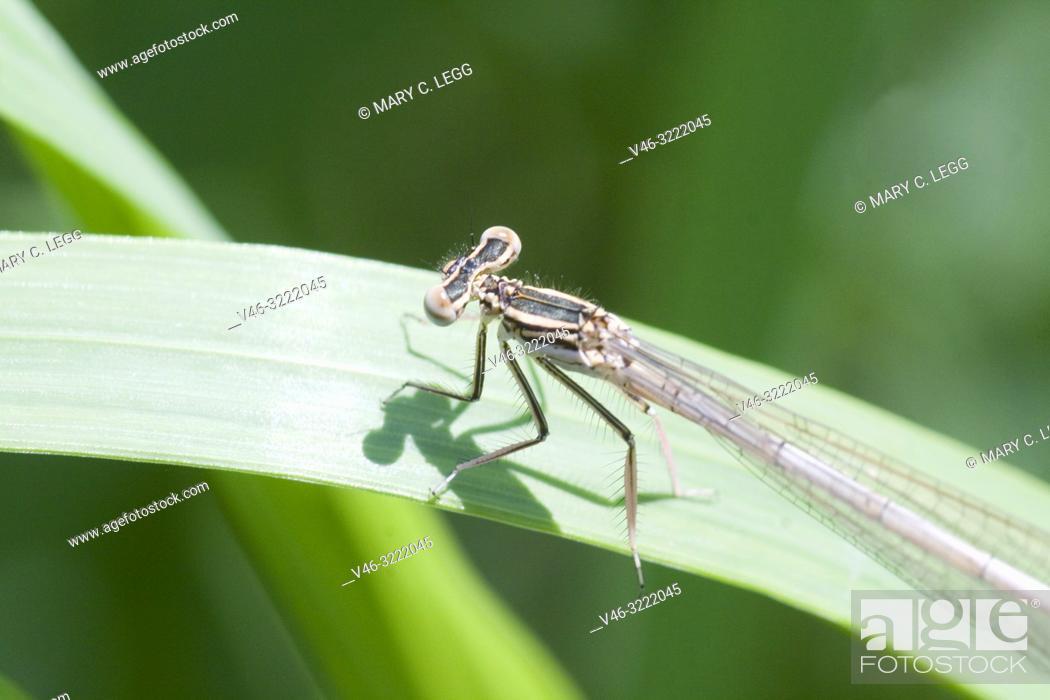 Stock Photo: Male White-legged Damselfly, Platycnemis pennipes, Blue Featherleg, a distinct damselfly with white legs/ Length is 32mm.