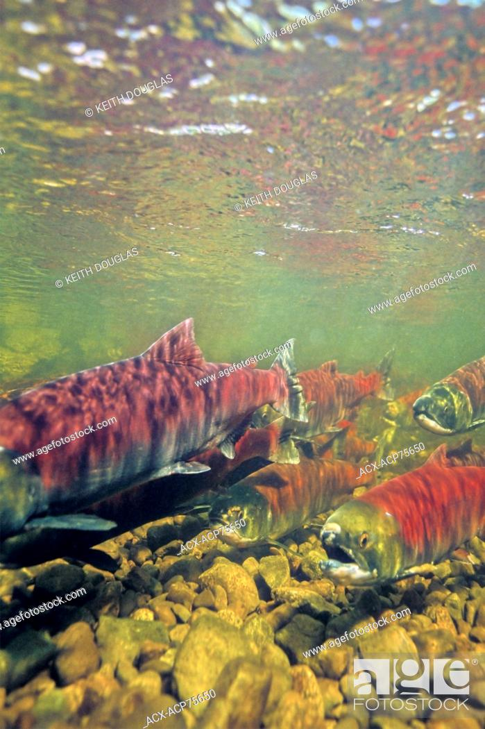 Stock Photo: Sockeye salmon in spawning channel at enhancement facility, Nadina River, British Columbia.