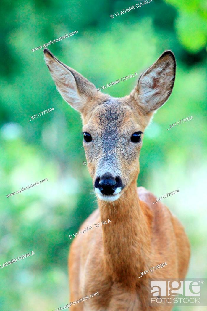 Stock Photo: European Roe Deer Capreolus capreolus doe  Location: Male Karpaty, Slovakia.