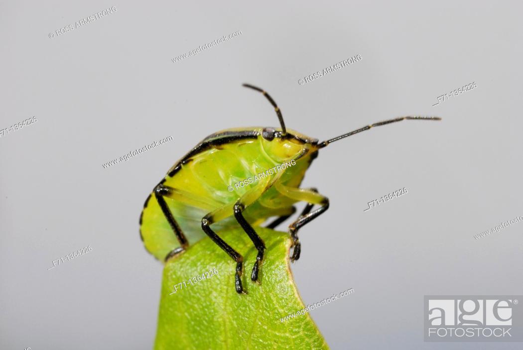 Stock Photo: Green shield bug Nezara viridula  Introduced insect  Northland, NewZealand.