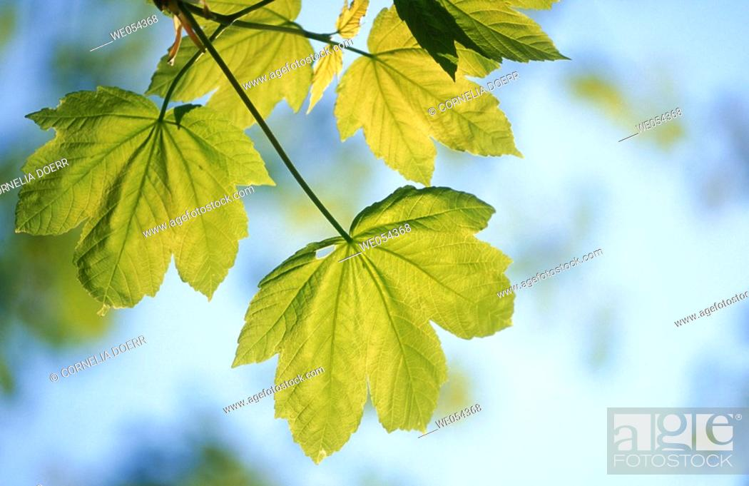Stock Photo: Maple leaves in spring. Germany.