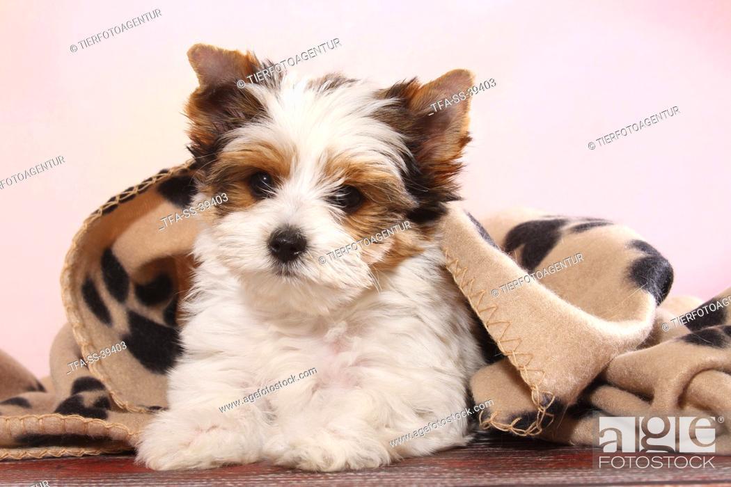 Stock Photo: lying Biewer Terrier Puppy.