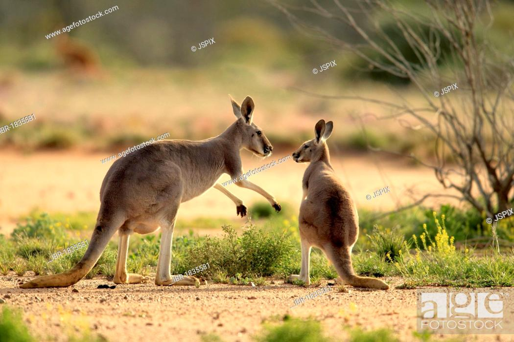 Stock Photo: Red Kangaroo (Macropus rufus) adult female and young, Tibooburra, Sturt National Park, New South Wales, Australia.