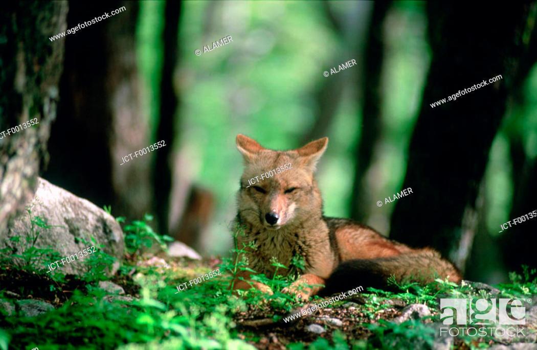 Stock Photo: Chile, fox.