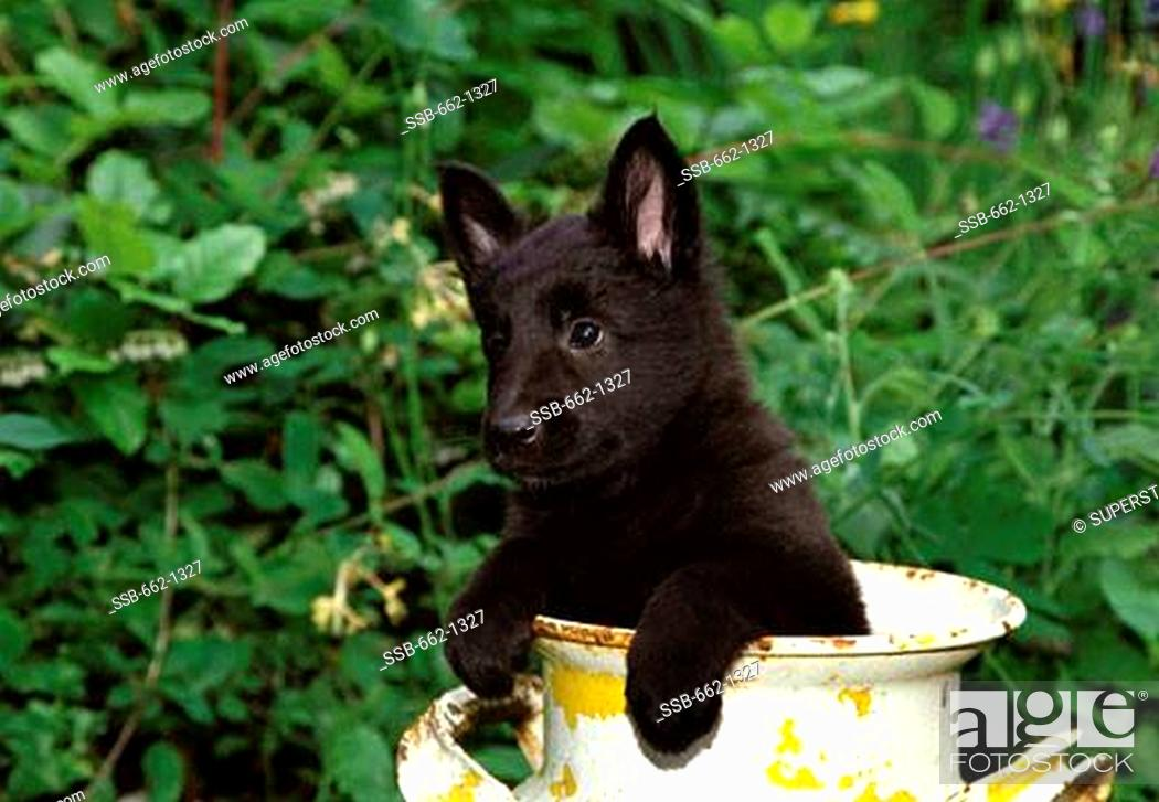 Belgian Sheepdog Puppy In A Decorative Urn Stock Photo Picture And