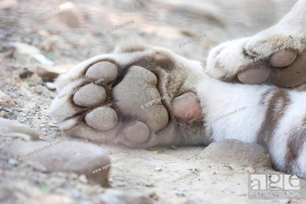 Stock Photo: tiger paw.