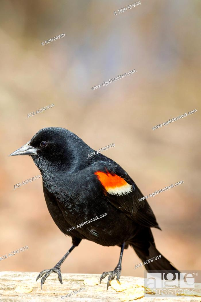 Stock Photo: Male Red-winged Blackbird (Agelaius phoeniceus), Lynde Shores Conservation Area, Whitby, Ontario, Canada.