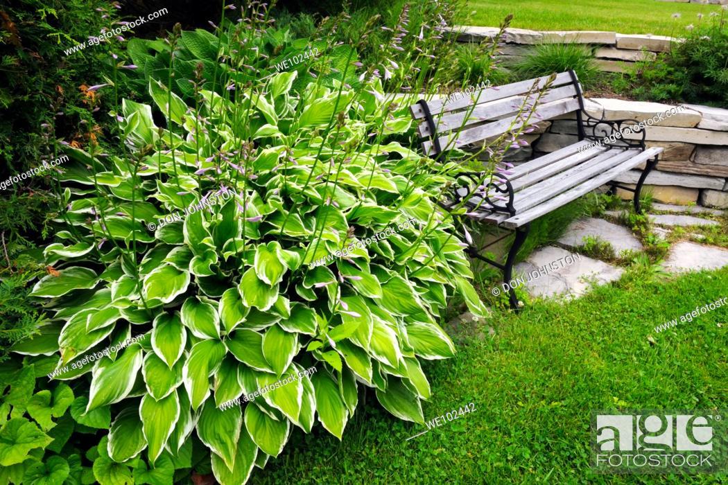 Stock Photo: Variegated hosta and garden bench.
