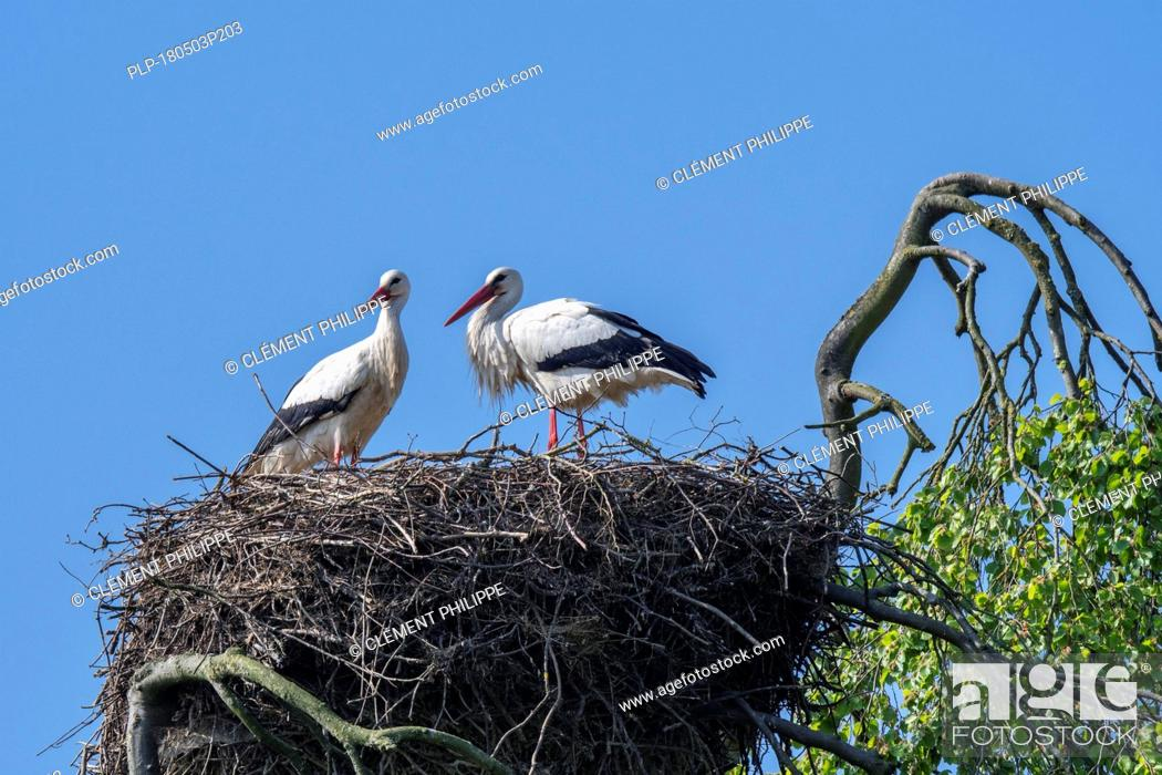Imagen: White stork (Ciconia ciconia) couple nesting on huge nest in tree top in spring.