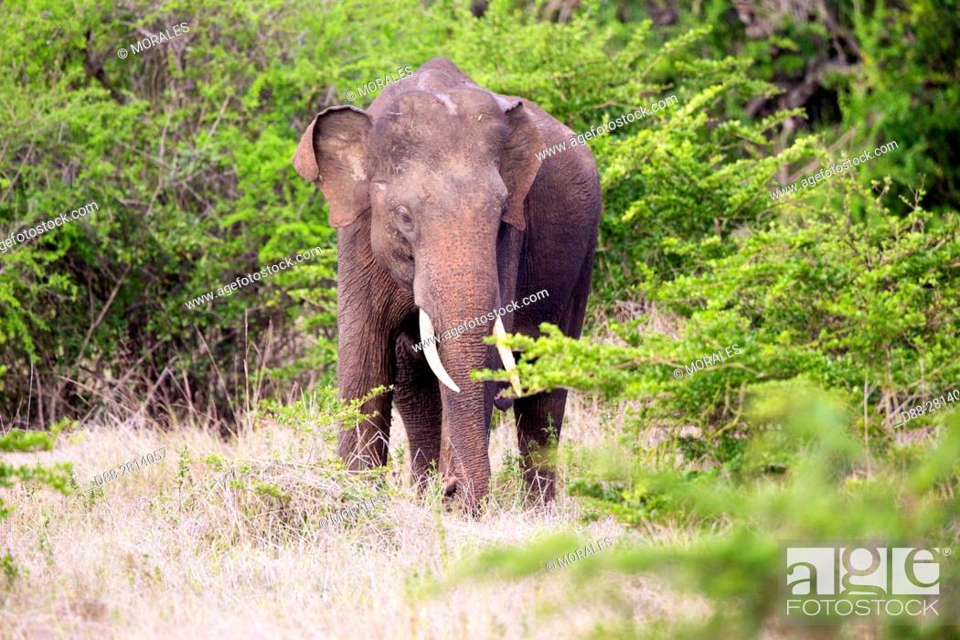Stock Photo: Sri Lanka, Northwest Coast of Sri Lanka, Sri lankan elephant (Elephas maximus maximus), .