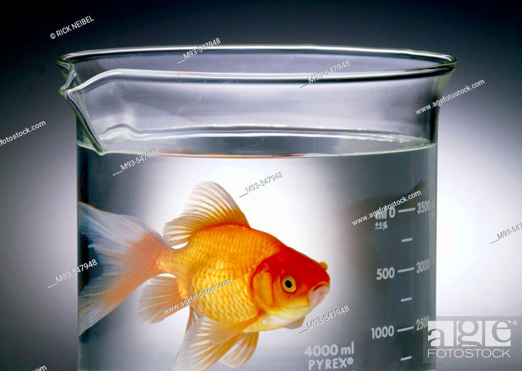 Stock Photo: Godfish swimming in beaker of clear liquid, looking at camera.