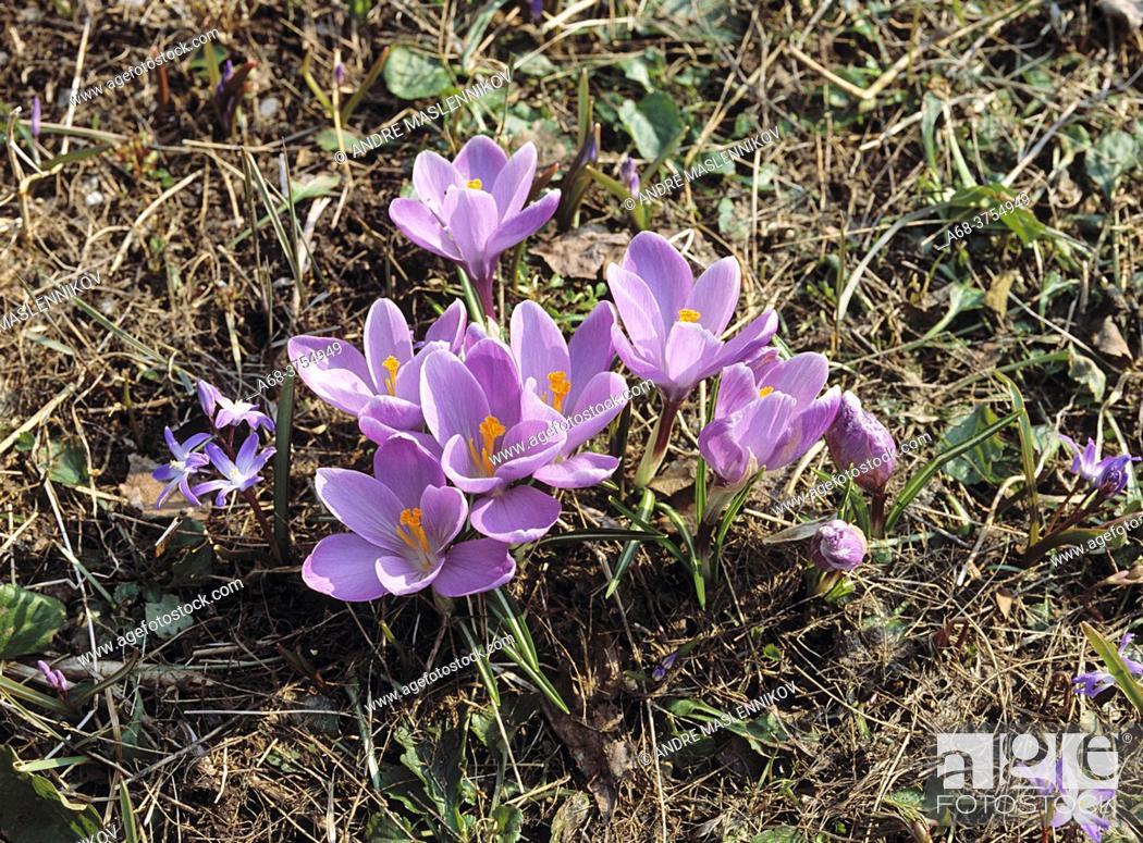 Stock Photo: Crocus in the spring.