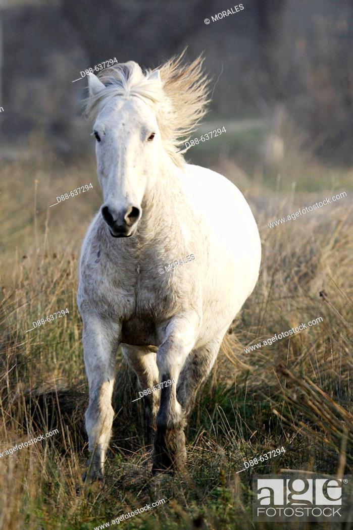Stock Photo: Camargue horse. Saintes-Maries-de-la-Mer. Camargue, Bouches du Rhone. France.