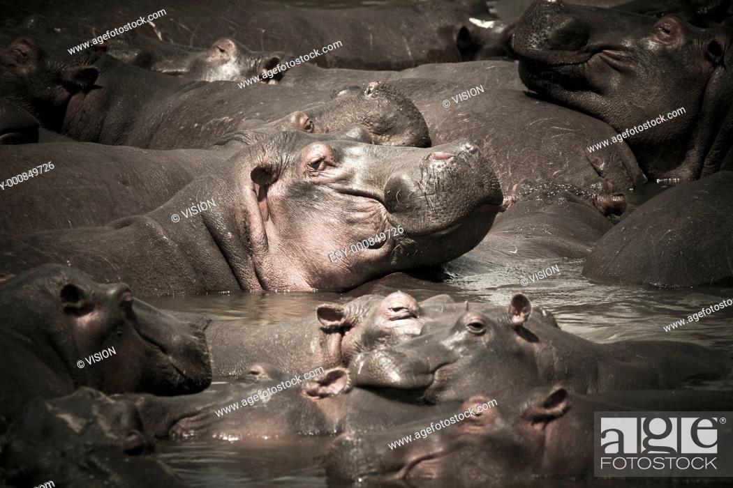 Stock Photo: hippo in the masai mara reverse in kenya africa.
