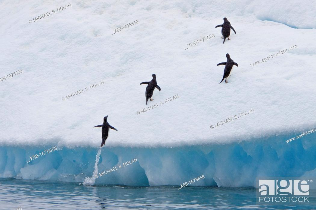 Stock Photo: Adult Adelie penguins Pygoscelis adeliae leaping onto icebergs near the Antarctic Peninsula, Antarctica.