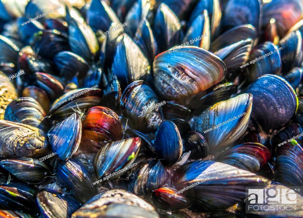 Stock Photo: Black mussels cling to a rock.