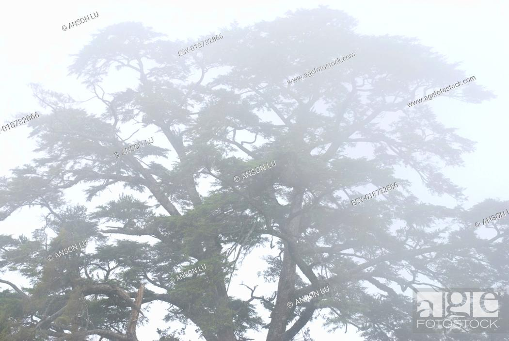 Imagen: pine tree in the forest with fog.