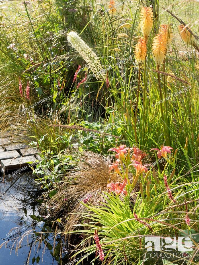 Stock Photo: KNIPHOFIA 'TOFFEE NOSED' AND HEMEROCALLIS ON THE LUST GARDEN DESIGNED BY RACHEL PARKER SODEN.