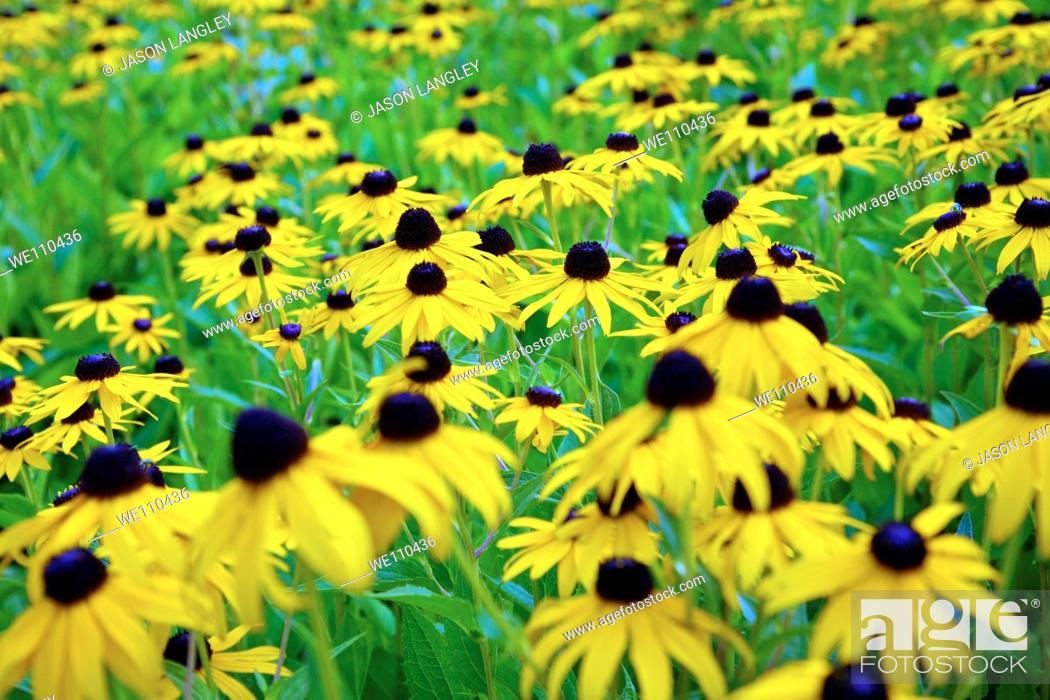 Stock Photo: Black-eyed Susans in Cuyahoga Valley National Park, Cleveland, Ohio, USA  Shallow DOF.
