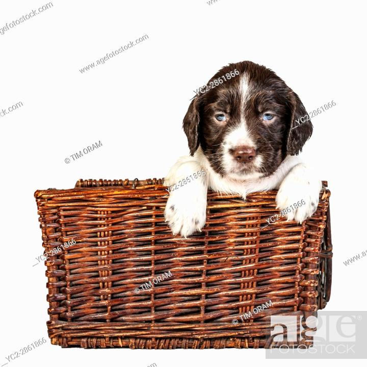 Stock Photo: A 4 week old liver and white English Springer Spaniel puppy in a wicker basket.