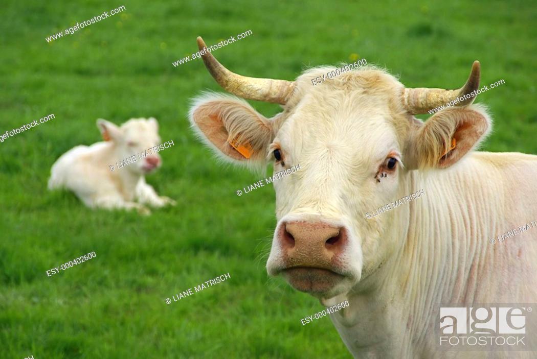 Stock Photo: Rind - cow 24.