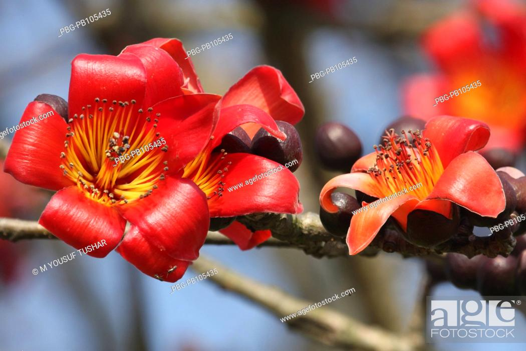 Stock Photo: Flowers of Silk cotton locally known as Shimul, blooms in early summer Besides adding colour to nature, it contributes to local consumption of cotton.
