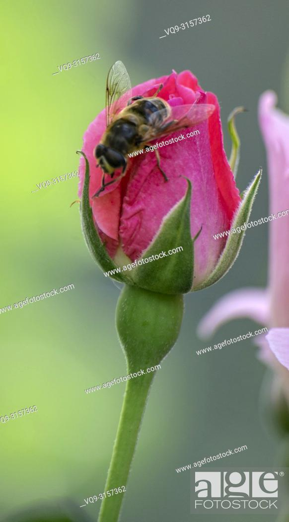Stock Photo: Bee on a Pink Rose Bud. Rosa hybrid.
