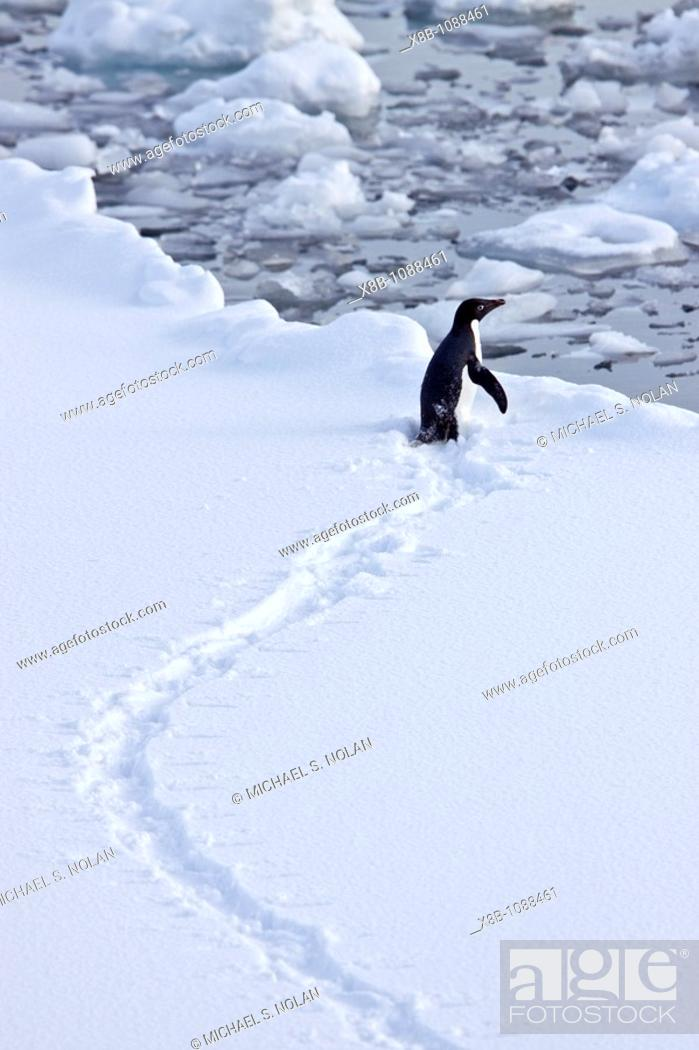 Stock Photo: AdÈlie penguin Pygoscelis adeliae near the Antarctic Peninsula, Antarctica  MORE INFO The AdÈlie Penguin is a type of penguin common along the entire Antarctic.