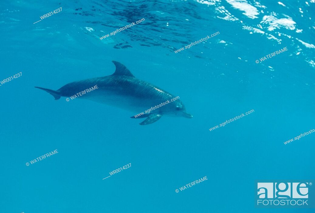 Imagen: Spotted Dolphin, Stenella frontalis, Atlantic, Caribbean Sea, Bahamas.