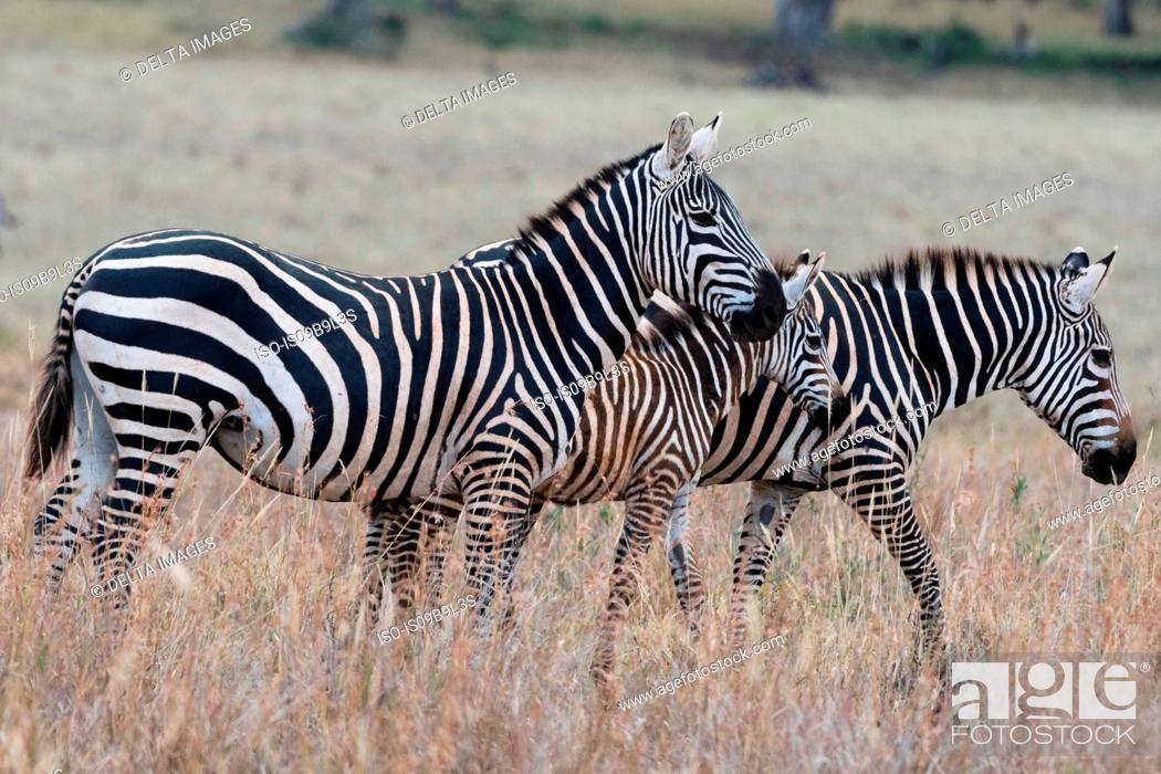 Stock Photo: Common zebras (Equus quagga) Tsavo, Kenya, Africa.