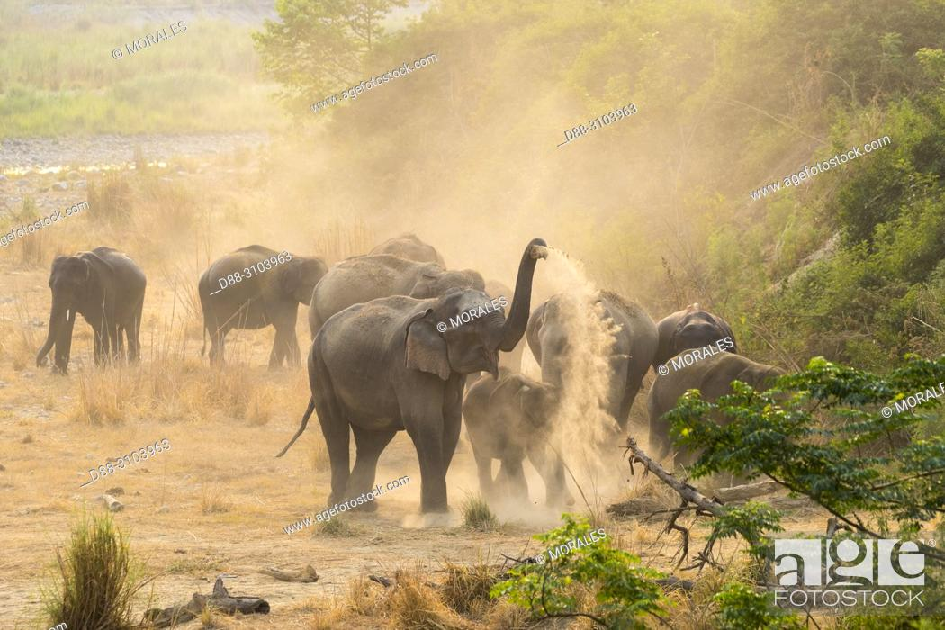 Stock Photo: Asia, India, Uttarakhand, Jim Corbett National Park, Asian or Asiatic elephant (Elephas maximus). Dust bath.
