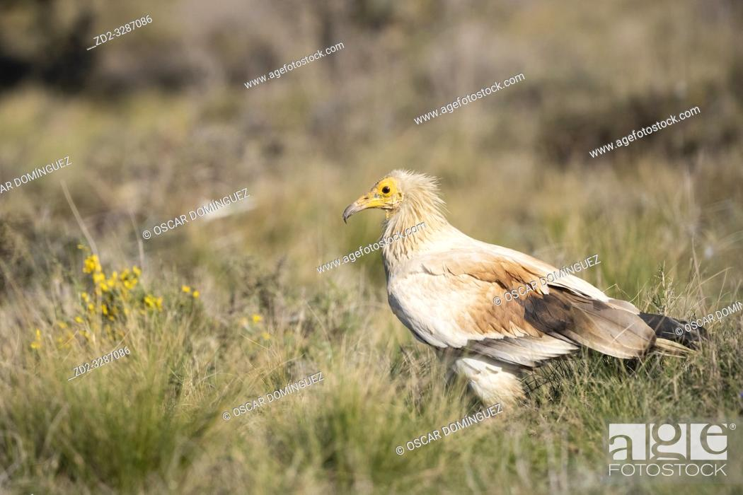 Stock Photo: Egyptian vulture (Neophron percnopterus) portrait. Pre-Pyrenees. Lleida province. Catalonia. Spain. Endangered species.