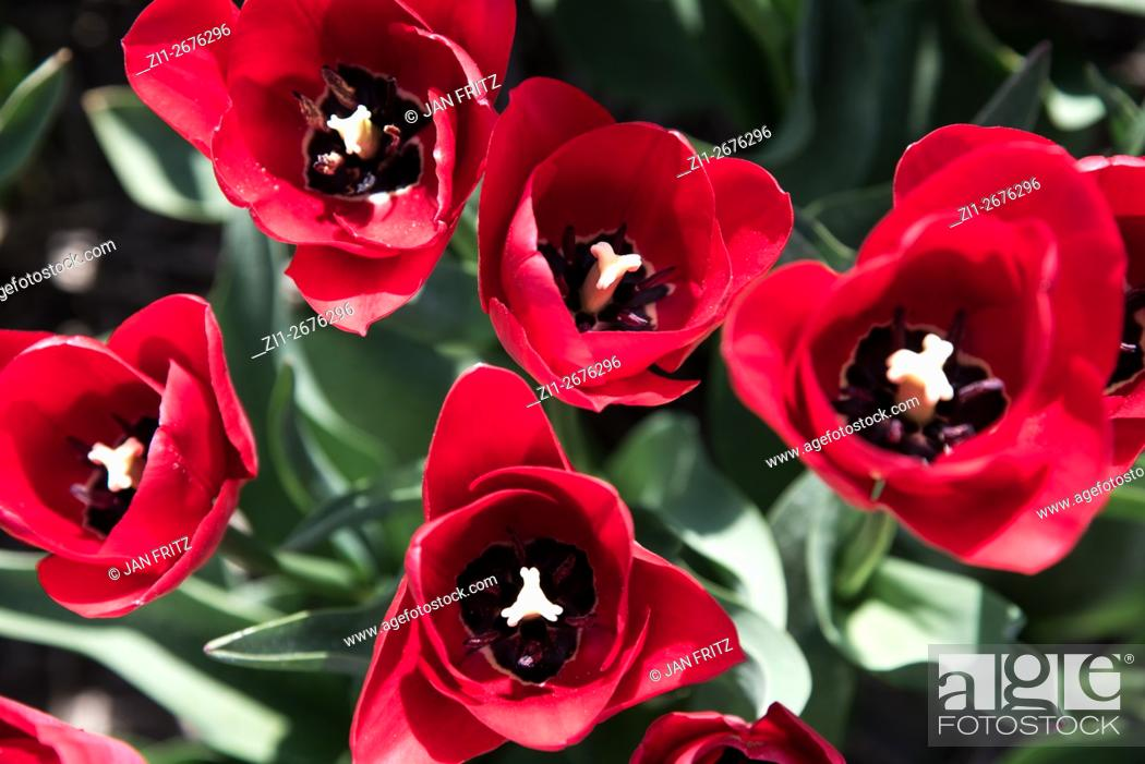 Stock Photo: closeup from tulips at Texel.
