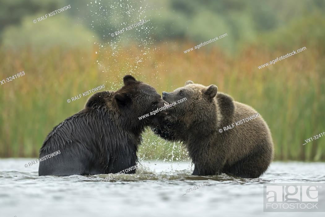 Stock Photo: Eurasian Brown Bears / Braunbaeren ( Ursus arctos ) fighting, baring their teeth, fight, wrestle between two adolescents in the shallow water of a lake, Europe.
