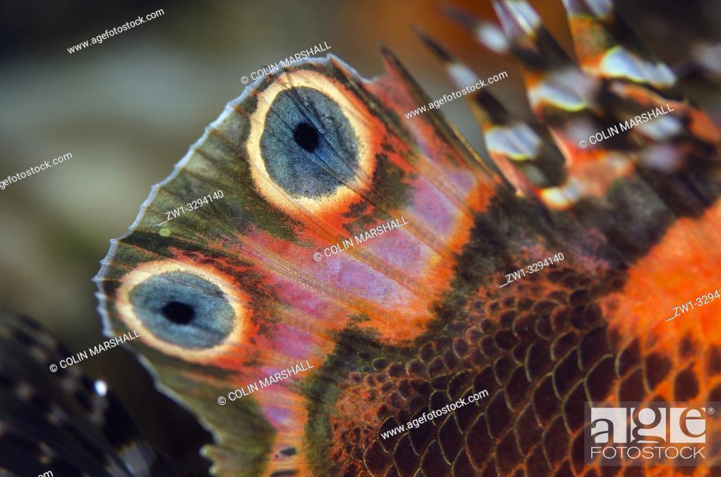 Stock Photo: Detail of fin on Twinspot Lionfish (Dendrochirus biocellatus), Dropoff dive site, Seraya, near Tulamben, Bali, Indonesia.