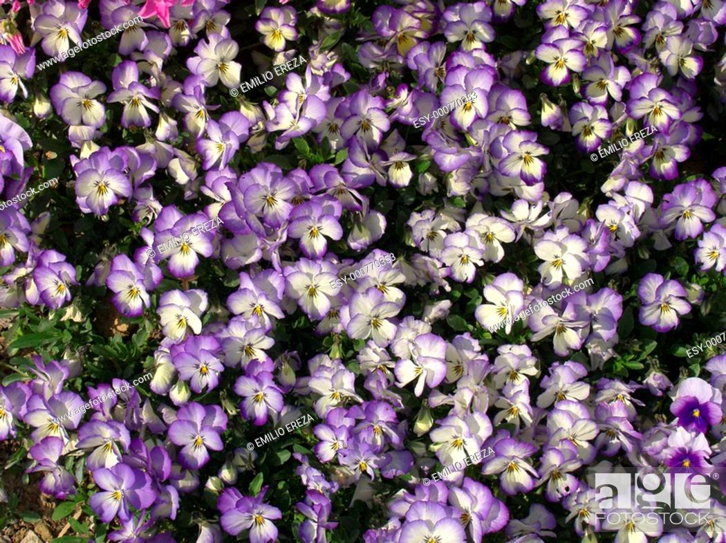 Stock Photo: Dwarf pansies Viola hybr.